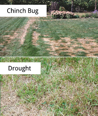 chinch_bug_damage_vs_lawn_drought_damage