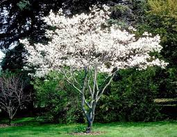 Downy Serviceberry tree