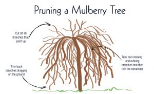 pruning a weeping mulberry