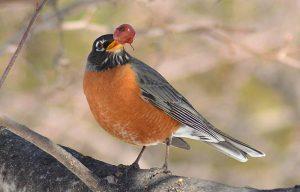 robin eating black cherry
