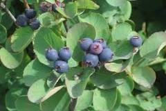 serviceberry or juneberry