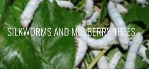 silkworms on the mulberry tree