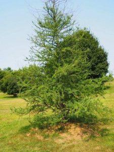 tamarack:larch tree on a hillside