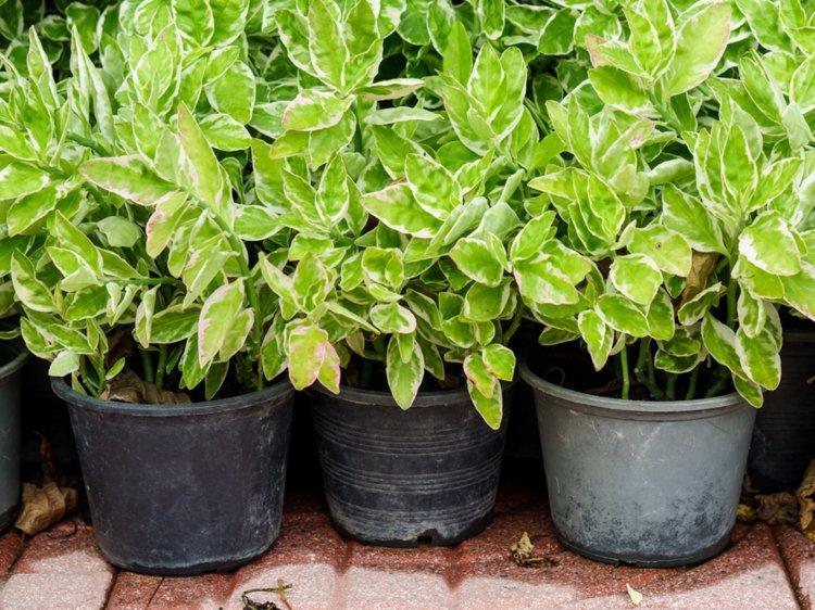 golden pothos plants
