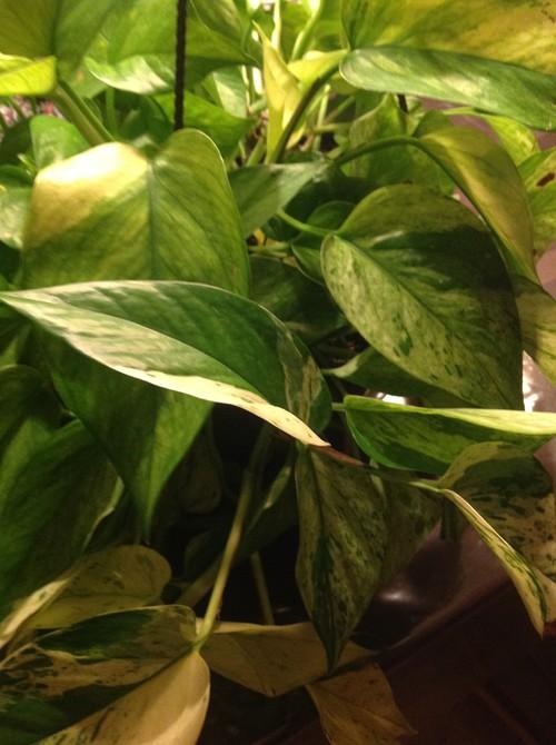 jessenia pothos plant