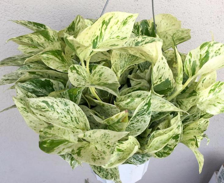 marble queen pothos plant