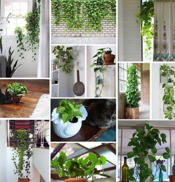 pothos plant care