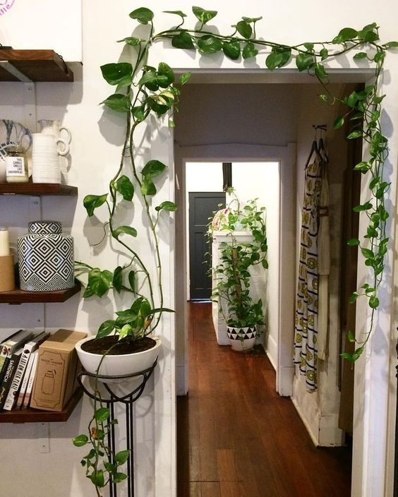 Image result for golden pothos plant care