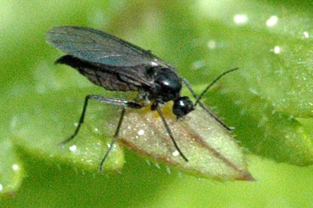 stopping-fungus-gnats